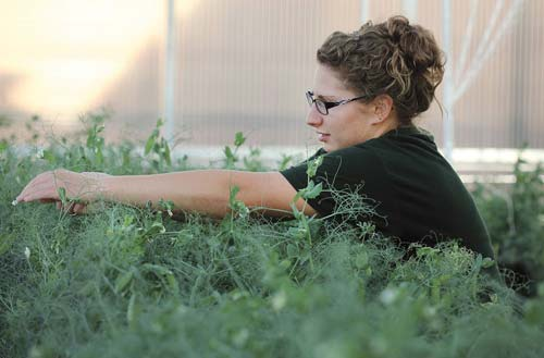 A graduate student works with common beans in a greenhouse at North Dakota State University.